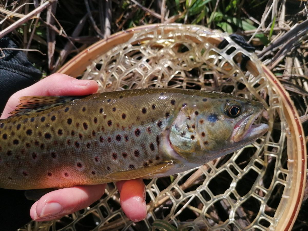 ouverture pêche de la truite